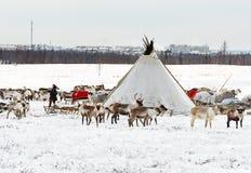Musher von Nenets-Nationalität macht ein Nomadelager an Stadtrände von Labytnangi-Stadt Lizenzfreie Stockfotos