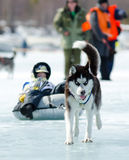 Mushing at Baikal Fishing 2012 Royalty Free Stock Image