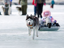Mushing chez Baikal pêchant 2012 images libres de droits