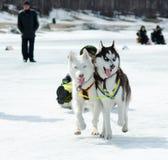 Mushing chez Baikal pêchant 2012 image libre de droits