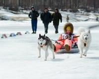 Mushing em Baikal que pesca 2012 Fotografia de Stock Royalty Free