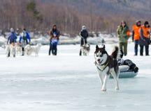 Mushing på Baikal som fiskar 2012 Royaltyfria Foton