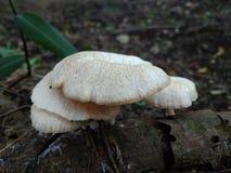 Mushrom sur le bois Images stock