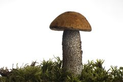 Mushroom. Bron mushroom close-up studio shot Royalty Free Stock Image