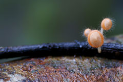 Mushroom. Haired yellow mushrooms in tropical forest Royalty Free Stock Photos
