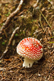 Red and White Poisonous Amanita Mushroom Stock Images