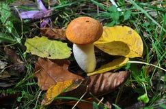 Mushroom. A closeup photo of an eatable mushroom stock photo