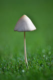Mushroom. A white mushroom in the grass Royalty Free Stock Images
