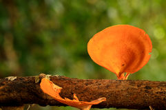 Mushroom. Closeup of a orange mushroom in forest Stock Images