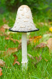 Mushroom. In the autumn lawn with fallen leaves Royalty Free Stock Images