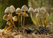 Mushroom. Mycena mushrooms on moss close up shoot royalty free stock photography