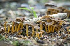 Mushroom. Edible mushrooms with excellent taste, Flammulina sp Stock Photo