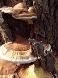 Mushroom. Tree mushroom Royalty Free Stock Image