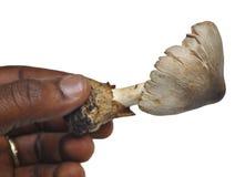 MUSHROOM AFRICA Stock Photography