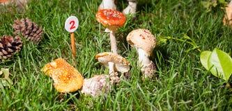 Mushroom Agaricus essettei Royalty Free Stock Images