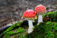 Mushroom amanita. Close-up of two amanita muscaria mushroom in a forest in Italy Royalty Free Stock Image