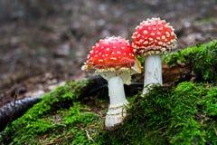 Mushroom amanita Royalty Free Stock Image