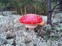 Mushroom amanita in the moss forest. A beautiful amanita mushroom in a summer forest Stock Images