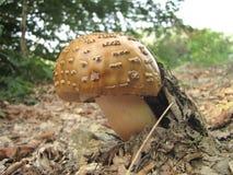 Mushroom Amanita Rubescens. Delicious mushroom Amanita Rubescens – the blusher under the leaves in the forest Royalty Free Stock Photo