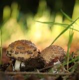 Mushroom Amanita Rubescens Stock Image