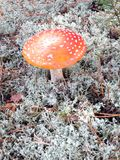 Mushroom. The mushroom Amanita on the Sunny meadow Royalty Free Stock Images