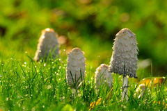 Free Mushroom Among The Grass Royalty Free Stock Image - 16093856