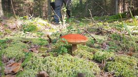 Collect mushrooms. A man mushroomer approaches the boletus mushroom and tears it down. Mushroom aspen forest in autumn stock footage