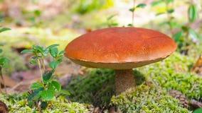 Mushroom aspen forest in autumn. Leccinum aurantiacum. Red-capped scaber stalk. Edible boletes. Mushrooms picking in the stock video