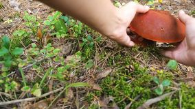 Collect mushrooms. A mushroomer approaches the boletus mushroom and tears it down. Mushroom aspen forest in autumn stock video footage
