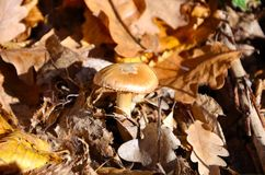 Mushroom in autumn Royalty Free Stock Photography