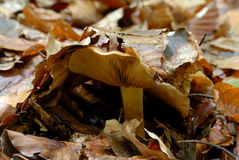 Mushroom in autumn forest Royalty Free Stock Photos