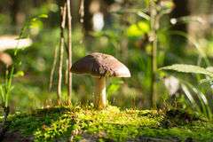 Mushroom. In the autumn forest stock image