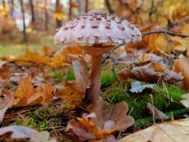 Mushroom in autumn forest among fallen leaves royalty free stock images