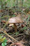 Mushroom in the autumn forest Royalty Free Stock Photography