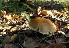 Mushroom in the autumn forest Stock Photography