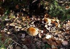 Mushroom in the autumn forest Royalty Free Stock Photo