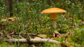 Mushroom in autumn forest among moss and trees , close up. Inedible mushroom in autumn forest among moss and trees , close up stock video footage