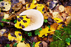 Mushroom in autumn forest Stock Photography