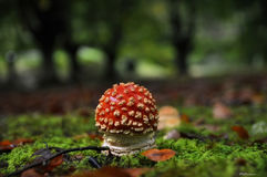Mushroom in autumn. A red mushroom inside the forest in autumn Stock Photo