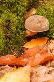 Mushroom in the autumn scenery Stock Image