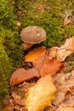 Mushroom in the autumn scenery Stock Photos