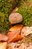 Mushroom in the autumn scenery Royalty Free Stock Photography