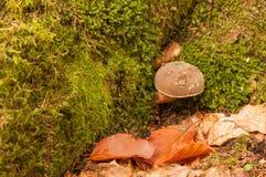 Mushroom in the autumn scenery Stock Photography
