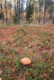 Mushroom in Autumn Taiga Forest, Finland Royalty Free Stock Images