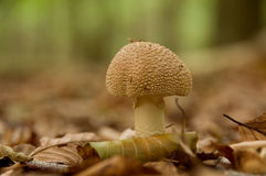 Mushroom in autumn woods Stock Photography