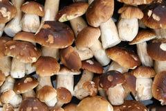 Mushroom background. Many mushrooms. Boletus backround royalty free stock photography