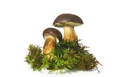 Mushroom Bay Bolete (Boletus badius). Isolated on the white background Stock Images