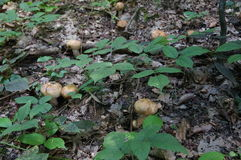 Mushroom with beige hat and leg grows in the forest. In the green grass Royalty Free Stock Image