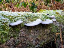 Mushroom in the Belgian Ardennes. Mushrooms on a tree in the Belgian Ardennes stock image
