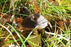 Mushroom a birch mushroom Royalty Free Stock Photography